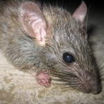 Rat control solutions in Edmonton.
