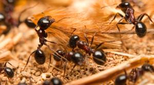 Carpenter Ant Removal Edmonton