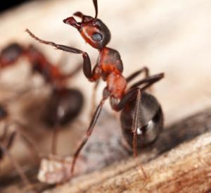 Ants Edmonton