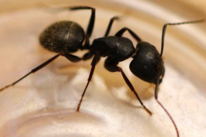 Black carpenter Ant Edmonton