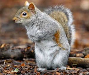 Edmonton Squirrel control