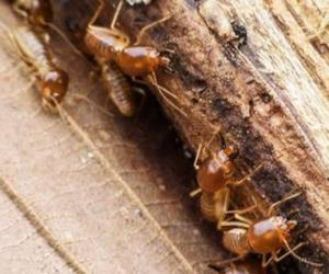 Extermite Termites in Edmonton