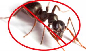 Pavement Ant removal