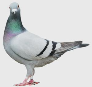 Pigeon Control Services Edmonton