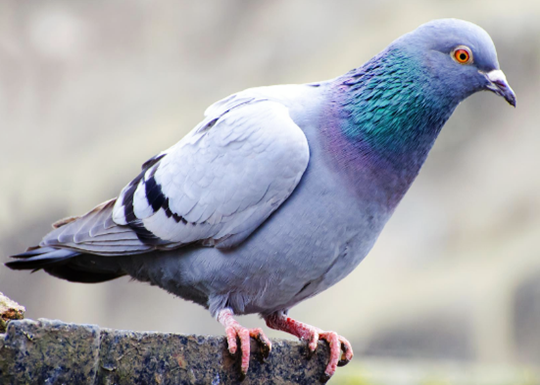 Pigeon Removal Edmonton
