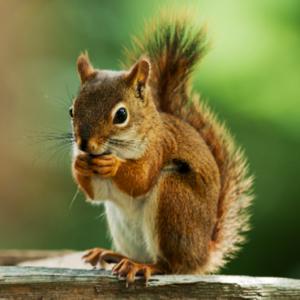 Squirrel Removal Edmonton