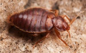 bedbug extermination service